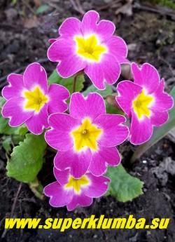 """Примула гибридная """"РОЗОВАЯ С БЕЛЫМ тонкой белой окантовкой по краям лепестков. Высота 10-14 см, цветет в мае. ЦЕНА 200 руб (делёнка) НОВИНКА! НЕТ НА ВЕСНУ."""
