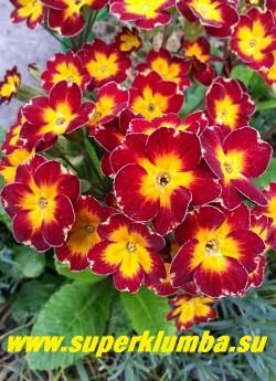 Примула гибридная «КРАСНАЯ №5″ крупные бархатистые красные цветы с небольшой белой окантовкой по краю и желтой звездой в центре, высота до 18 см, цветет в мае-июне, ЦЕНА 250 руб (делёнка) НОВИНКА!