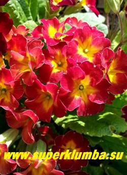 """Примула гибридная """"КРАСНО-МАЛИНОВАЯ №3"""" Крупные красно-малиновые цветы с волнистыми лепестками и желтой звездой в центре. Высота 15 см,  цветет в мае-июне, НОВИНКА!   ЦЕНА 250 руб (делёнка) НЕТ НА ВЕСНУ"""