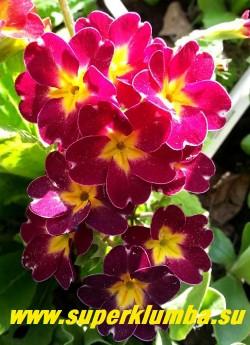 """Примула гибридная """"ВИШНЕВАЯ №1""""  вишневые цветы с тонкой  белой окантовкой и желтой звездой в центре, темнеющие по мере цветения до фиолетовых.  Высота до 15 см, цветет в мае, ЦЕНА 200 руб  (делёнка) НОВИНКА! НЕТ НА ВЕСНУ"""
