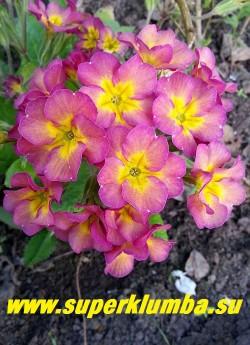 """Примула гибридная """"ДЫМЧАТО-РОЗОВАЯ""""  крупные  дымчато-розовые цветы с небольшой желтой звездочкой в центре,  высота  до 20 см ,цветет в мае, ЦЕНА 250 руб   (делёнка) НОВИНКА!"""