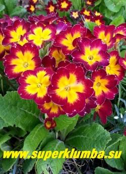 """Примула гибридная  """"КРАСНАЯ №6""""  крупные бархатистые вишнево-красные цветы с большой  желтой звездой  в центре, высота до 18 см, цветет в мае-июне, ЦЕНА 250 руб (делёнка) НОВИНКА!"""