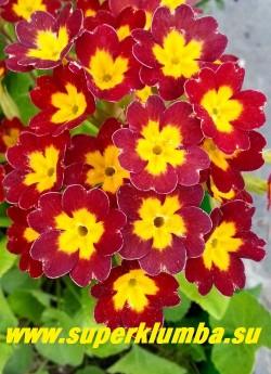 """Примула гибридная  """"КРАСНАЯ №8""""   бархатистые вишнево-красные цветы с   желтой звездой  в центре, высота до 18 см, цветет в мае-июне, ЦЕНА 220 руб (делёнка) НОВИНКА!"""