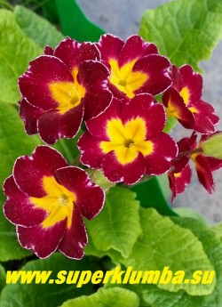 """Примула гибридная """"ВИШНЕВАЯ №2""""  примула с темно-вишневыми цветами с тонкой  белой окантовкой и желтой звездой в центре, высота до 15 см, цветет в мае, ЦЕНА 200 руб  (делёнка) НОВИНКА! НЕТ НА ВЕСНУ"""