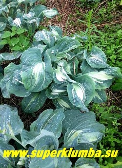 Хоста «ГАРДИАН ЭНДЖЕЛ» (Hosta «Guardian Angel») Размер L.   На фото  молодой куст. Молодые листья узкие, крученые с рюшами по краю, более взрослые шире и ровнее. НОВИНКА! ЦЕНА 600 руб (1шт)
