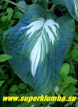 Хоста ЭНДРЮ  (Hosta Andrew) лист  взрослого растения крупным планом.   В окраске  молодых растений преобладает бело-кремовый цвет, тогда как у более взрослых экземпляров  белый центр заполняется  зеленым перьевидным  узором.      Развивается медленно и пика красоты достигает  после трех лет,  но ожидания того стоят!НОВИНКА! ЦЕНА 800 руб