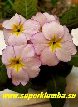"""Примула гибридная """"ДЭЙБРЕЙК""""   ( Primula Daybreak)   крупноцветковая , нежнейший перламутрово-розовый цвет  с тонкой малиновой каймой по краю лепестков и  с небольшой желтой звездочкой в центре,  отличный контраст с темной бронзовой листвой,  высота  до 20 см, цветет в мае. НОВИНКА!  НЕТ В ПРОДАЖЕ ."""