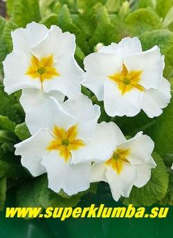 Примула гибридная «БЕЛАЯ №2». Крупная  чисто-белая с гофрированными лепестками и с желтой звездой в центре, осень обильная, невысокая, высота 12-13 см, цветет апрель-май, НОВИНКА! ЦЕНА 150 руб (штука)