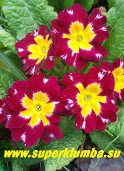 """Примула гибридная """"БОЯРЫНЯ""""  сорт с очень крупными   бархатистыми красными цветами с яркими белыми  контрастными отметинами на краях лепестков и желтым центром,  диаметр цветка 4-5 см, высота до 20 см, цветет в мае-июне. Собственная селекция.   ЦЕНА 400 руб (штука)"""