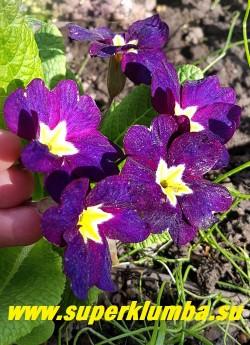 """Примула гибридная """"ИНДИГО""""  крупные цветы,  очень насыщенный фиолетово-чернильный цвет,  ярко-желтый центр с тонким  белым  кантом. Высота до 15 см, цветет в мае, НОВИНКА!  ЦЕНА 350 руб (1 штука)  НЕТ НА ВЕСНУ."""