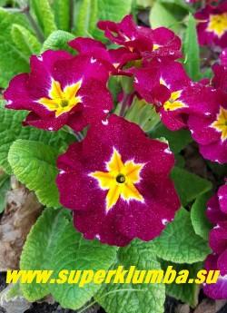 """Примула гибридная """"СВЕКОЛЬНАЯ БАРХАТНАЯ"""" очень крупноцветковая примула со свекольными цветами с контрастной золотой звездой в центре, высота до 12 см, цветет в мае-июне.  ЦЕНА 200 руб (штука)"""