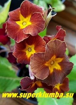 """Примула гибридная """"ВИКТОРИАНСКАЯ ШОКОЛАДНАЯ"""" очень эффектная редкого оттенка  примула   с бархатистыми цветами  от терракотово-коричневых до кофейно-шоколадных тонов, высота до 20 см, цветет в мае-июне, НОВИНКА!  ЦЕНА  700 руб  (1 шт) НЕТ В ПРОДАЖЕ"""