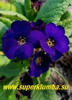 Примула полиантовая  «БЛЮ КОВИЧЕН» (Primula polyanthus Blue Cowichan) знаменитая французская сортосерия с бархатными цветами интенсивно синего цвета,  высота 15 см , цветет в мае-июне. НОВИНКА! ЦЕНА 700 руб (штука)