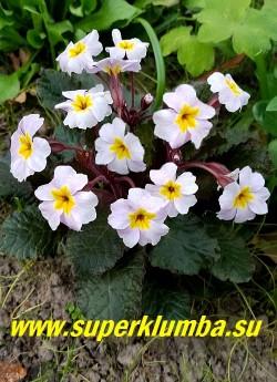 Примула гибридная ГАРРИЯРД ГУИНЕВЕРЕ (Primula  Garryard Guinevere)   Нежно-розовые цветы диаметром 3-4 см, с жёлтым глазком, в зонтиковидных соцветиях красиво контрастируют с  пурпурно-бронзовыми листьями. Высота 10-15 см. НОВИНКА! ЦЕНА 350 руб