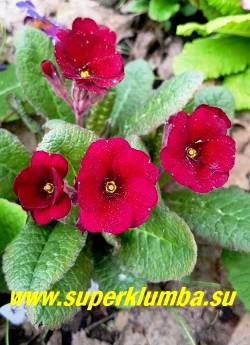 """Примула полиантовая  """"ГАРНЕТ КОВИЧЕН» (Primula polyanthus Garnet Cowichan) знаменитая французская сортосерия с бархатными цветами цвета граната, от гранатового до почти черного оттенка,  высота 15 см , цветет в мае-июне. НОВИНКА! ЦЕНА 700 руб (штука)"""