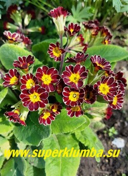 Примула гибридная ГОЛД ЛЕЙС. (Primula polyanthus Gold Lace) НОВИНКА!  ЦЕНА 350 руб