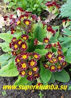 Примула гибридная ГОЛД ЛЕЙС. (Primula polyanthus Gold Lace) Темно-вишневая с золотыми  окантовкой и лучами по центру лепестка.  Ароматная. Высота 10-15 см, цветет апрель- май.  НОВИНКА!  ЦЕНА 350 руб