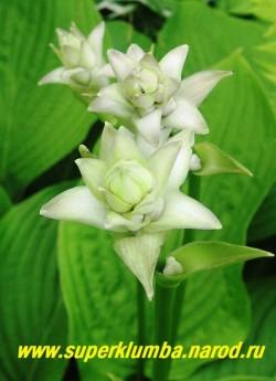 Хоста МОНТАНА / ГОРНАЯ (Hosta Montana) Цветоносы этой хосты в начале роспуска очень похожи на махровые цветы или на звезды. ЦЕНА 250 руб (1 шт)