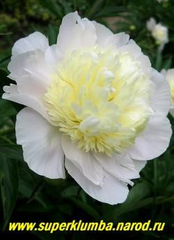 пион молочноцветковый ЛАУРА ДЕССЕР (Paeonia lactiflora Laura Dessert). Высокий мощный куст с   прочными стеблями хорошо разрастается и очень обильно цветет одним из первых среди молочноцветковых   пионов.  ЦЕНА 450-800 руб (деленка 3-5 почек)