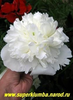пион молочноцветковый ДЮШЕС ДЕ НЕМУР (Paeonia lactiflora Duchesse de Nemours) Calot, 1856, Франция,   СП, 100/ 16 . Цветок белый, с желтоватым оттенком и зеленоватым основанием лепестков с запахом   ландыша, выгорает до чисто белого. Цветет обильно.  ЦЕНА 500-900 руб (деленка 3-5 почек) НЕТ НА ВЕСНУ