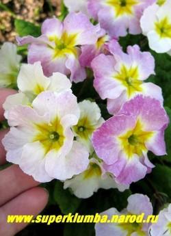 Примула гибридная «ХАМЕЛЕОН №7″. Крупноцветковая с волнистыми лепестками, меняет цвет с белого на темно-малиновый, высота до 15 см, цветет апрель-май, ЦЕНА 250 руб (штука)  НЕТ НА ВЕСНУ