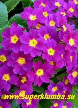 """Примула Юлии """"ВАНДА"""" (Рrimula juliae """"Wanda"""") свекольно-фиолетовая, с темной блестящей листвой, очень ранняя и яркая, неприхотливая, высота 10 см, цветет апрель-май, предпочитает влажную полутень.  ЦЕНА 150 руб  (делёнка)"""