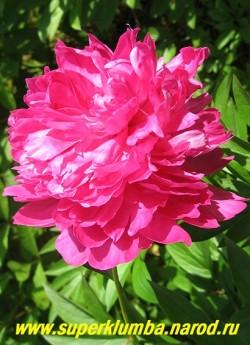 пион молочноцветковый АЛЕКСАНДР ФЛЕМИНГ (Paeonia lactiflora  Dr Alexander Fleming)  В начале роспуска цветок малиново-розовый, затем по мере роспуска   цветок светлеет до насыщенно-розового. ЦЕНА 350-700 руб. (деленка 3-5 почек)
