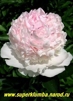 пион молочноцветковый ФЕСТИВА МАКСИМА (Paeonia lactiflora Festiva Maxima) Иногда в начале роспуска   серединка имеет нежно розовый оттенок, впоследствии выгорающей до белого. Очень популярный сорт с   обильным и продолжительном цветением, практически никогда не болеет.  ЦЕНА 500-900 руб (деленка 3-5 почек)