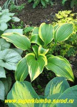 Хоста МОНТАНА АУРЕОМАРГИНАТА (Hosta Montana Aureomarginata) размер L. Красивая хоста с фонтанообразной формой куста. Листья крупные (35х25см.) удлинённые с оттянутой острой верхушкой, блестяще-зелёные с широкой перьевидной жёлтой каймой, язычками простирающейся к середине,  цветы почти белые. Высота 60-80 см.  ЦЕНА 300 руб (1 шт)