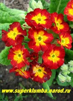 """Примула гибридная """"КРАСНАЯ №3"""", яркий светящийся красный цвет с крупным желто-оранжевым центром, высота до 20 см , цветет в мае-июне, ЦЕНА 200 руб (делёнка)  НЕТ  НА ВЕСНУ"""