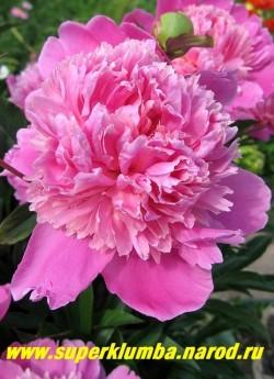пион молочноцветковый ЭДУЛИС СУПЕРБА (Paeonia lactiflora Edulis Superba) Demon, 1824, Франция, Р, 90/14. Махровый с широкой сиренево-розовой юбкой и кремово-розовой короной вырастающей из более узких лепестков, светлеющих в процессе цветения, с великолепным сильным ароматом.  Великолепный  неприхотливый сорт. ЦЕНА 300-600 руб (деленка 3-5 почек)