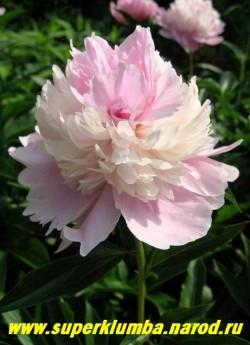 пион молочноцветковый УОППЕР (Paeonia lactiflora Whopper) часто у этого сорта из кремового центра цветка прорываются крупные ярко -розовые лепестки и цветок становится еще интереснее. Редкий и красивый сорт! ЦЕНА 450-800 руб (деленка 3-5 почек)
