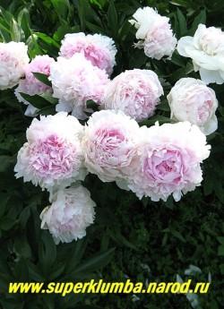 на фото цветущий куст САРЫ БЕРНАР (Paeonia lactiflora Sarah Bernhardt) . Этот сорт не спешит быстро распускаться, и радует своими огромными цветами , когда почти все пионы уже отцвели. Куст этого сорта закладывает до 50 цветоносов , сорт неприхотлив и хорошо разрастается.  ЦЕНА 500-900 руб (деленка 3-5  почек)