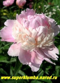 пион молочноцветковый УОППЕР (Paeonia lactiflora Whopper) Klehm, 1980, US, С, 85/18. Махровый бомбовидный , розово-кремовый, с ароматом, темная глянцевая листва, крепкие стебли.  ЦЕНА 450-800 руб (деленка 3-5 почек)