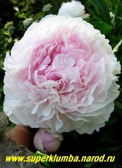 Пион молочноцветковый САРА БЕРНАР (Paeonia lactiflora Sarah Bernhardt) Lemoine 1906, СП, 90/18, самый любимый и популярный во всем мире сорт! Махровый розовидный. Плотный розово-сиреневый с серебристыми  краями. ЦЕНА 500-900 руб (деленка 3-5  почек)