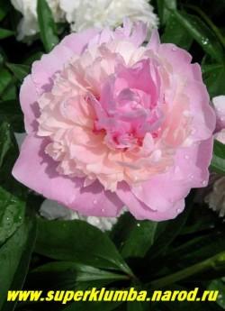 пион молочноцветковый УОППЕР (Paeonia lactiflora Whopper)  в начале роспуска, по мере взросления , цветок меняет окраску от ярких к более пастельным тонам. Лепестки шелковистой фактуры. ЦЕНА 450-800 руб (деленка 3-5 почек)