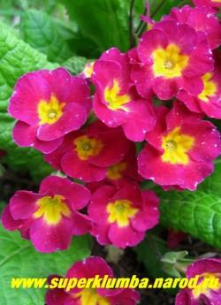 """Примула гибридная """"СВЕКОЛЬНО-МАЛИНОВАЯ"""" бархатная очень яркого цвета и золотым центром, цветы колесовидной формы, высота до 12 см, цветет в мае-июне. ЦЕНА 100 руб (делёнка)"""