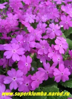 Примула КОРТУЗОВИДНАЯ (Рrimula cortusoides) изящная и неприхотливая видовая примула с сиренево-розовыми цветами, высота до 25 см, цветет май-июнь ,после цветения листва постепенно исчезает до весны. ЦЕНА 200 руб (3-4  штуки)