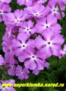 """Примула Зибольда """"РОЗОВАЯ"""" (Рrimula sieboldii) Высокая примула с крупными диаметром 4 см светлосиреневыми цветами с белым центром, высота 20 см, хорошо стоит в срезке, цветет май-июнь, после цветения листва постепенно исчезает до весны, ЦЕНА 200 руб (2 штуки)"""