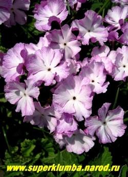 """Примула Зибольда """"СИРЕНЕВАЯ"""" (Рrimula sieboldii) Высокая примула с крупными диаметром 4 см светлосиреневыми цветами с белым центром, высота 20 см, хорошо стоит в срезке, цветет май-июнь, после цветения листва постепенно исчезает до весны, ЦЕНА 200 руб (2 штуки)"""
