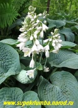 """цветы хосты ЗИБОЛЬДА """"ЭЛЕГАНС"""" (Hosta Sieboldiana """"Elegans"""") восковые почти белые с едва сиреневатым оттенком. Соцветие компактное, плотное,как у гиацинта, цветонос почти не позвышается над листьями. Цветет в конце июня (раньше, чем остальные хосты). Очень эффектная хоста. ЦЕНА 250 руб ( 1шт)"""