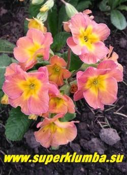 """Примула гибридная """"ОРАНЖЕВО-РОЗОВАЯ""""  оранжево-розовые цветы с небольшой желтой звездочкой в центре,  крупноцветковая, высота до 15 см,  цветет в мае,  ЦЕНА 250 руб (делёнка)  НОВИНКА!"""