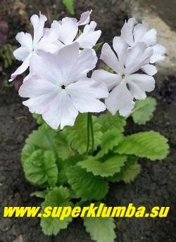 """Примула Зибольда """"ХАМАНОНО КАСАНЕ""""  (Рrimula sieboldii """"Hamanono Kasane"""")  сортовая  примула с крупными почти белыми цветами с контрастной  розовой изнанкой,  высота 20 см, хорошо стоит в срезке, цветет май-июнь, после цветения листва постепенно исчезает до весны. НОВИНКА!  ЦЕНА 300 руб (1 штука)"""