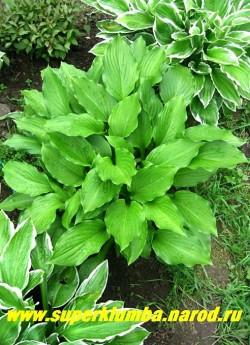 Хоста ВОЛНИСТАЯ ЭРРОМЕНА (hosta Undulata var. Erromena) размер M. листья продолговатые темно-зеленые, цветет в июле сиреневыми цветами на высоких цветоносах, выс.30-40 см , хорошо сочетается с Х. Альбомаргината. ЦЕНА 150 руб (1шт) или большие кусты: 5-10 розеток от 300-500 руб
