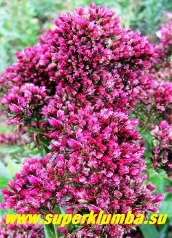 Флокс метельчатый РЕД ФИЛИНГС (Phlox paniculata Red Feelings) R. v. Gaalen, 2003 г., СП., 70. малиново- красные чуть раскрытые небольшие цветки , соцветие огромное плотное «ежистое», долгоцветущий, кусты не ломаются, не ложатся. Неприхотливый.  ЦЕНА 250 руб (1 шт)   или 500 руб (кустик : 3-4 шт)