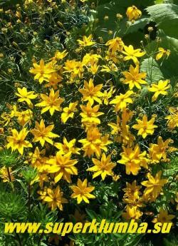 КОРЕОПСИС МУТОВЧАТЫЙ «Загреб»(Coreopsis verticillata «Zagreb») невысокий кустик с ажурной мелкорассеченной листвой, обильно цветет желтыми цветами с июля по сентябрь, высота 30 см. НОВИНКА! ЦЕНА 200 руб (делёнка)