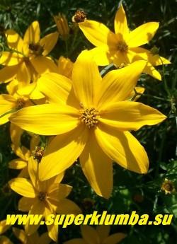 """КОРЕОПСИС МУТОВЧАТЫЙ """"Загреб""""(Coreopsis verticillata """"Zagreb"""")  Цветок крупным планом.  НОВИНКА! ЦЕНА 200 руб (делёнка)"""
