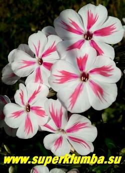 Флокс метельчатый ТВИСТЕР (Phlox paniculata Twister) Verschoor 2011, С, 40-60/4, новый компактный сорт флокса метельчатого. Цветки чисто-белые с розово-красной перьевидной полосой по середине лепестка, соцветие округлое, среднее по плотности и размеру.  ЦЕНА 250 руб (1 шт) или 500 руб  (куст: 3-4 шт)