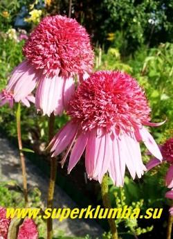 """Эхинацея пурпурная """"РАЗЗМАТАЦЦ"""" (Echinacea purpurea """"Razzmatazz"""") крупные пурпурно-розовые цветы с большим махровым центром и однослойной опущенной вниз юбочкой из язычковых цветков, высота 60-70см , цветет с июля по сентябрь. ЦЕНА 300 руб (делёнка)"""