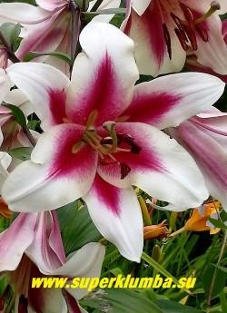 Лилия АЛЬТАРИ (Lilium Altari) Цветок крупным планом. ЦЕНА 200 руб (1 шт)